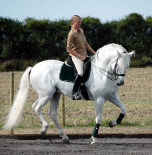 pre hästar till salu